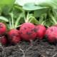 Как правильно сажать и выращивать редис?