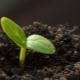 Как прорастить семена огурцов?
