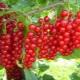 Как размножить красную смородину?