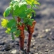 Как размножить виноград?