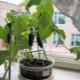 Как выращивать огурцы на подоконнике?