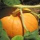 Как вырастить большую, ароматную и вкусную тыкву?