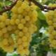 Как вырастить виноград на Урале?