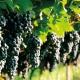 Как вырастить виноград в Подмосковье и когда нужно открывать лозу после зимы?