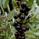 Как вырастить вишню сорта «Бессея»?
