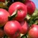 Как вырастить яблоню сорта «Елена»?