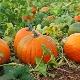 Калорийность и пищевая ценность тыквы