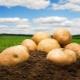 Картофель «Кемеровчанин»: характеристика и выращивание
