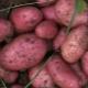Картофель «Рокко»: описание сорта и выращивание