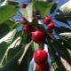 Колоновидная вишня: сорта и агротехника