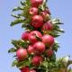 Колоновидная яблоня «Валюта»: характеристика сорта, посадка и уход