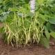 Кустовая фасоль: характеристика и агротехника выращивания