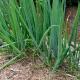 Лук «Батун»: полезные свойства и выращивание