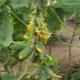 Огурцы «Гирлянда F1»: особенности сорта и выращивания