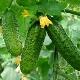 Огурец «Нежинский»: характеристика сорта и особенности выращивания