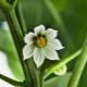 Опадают цветы у перца: причины и лечение