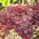 Описание и условия произрастания сорта винограда «Ливия»