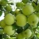 Особенности сорта яблони «Кроха», правила посадки и ухода