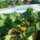 Особенности выращивания огурцов под пленкой