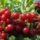 Особенности выращивания вишни
