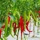 Перец «Бараний рог»: особенности сорта и выращивание