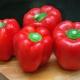 Перец «Богатырь»: характеристика и особенности выращивания