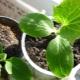 Перекись водорода для огурцов: назначение и рекомендации по применению