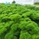Петрушка кудрявая: свойства, сорта и выращивание