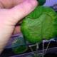 Почему листья у огурцов закручиваются во внутрь?