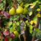 Почему у груши краснеют листья летом?