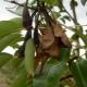 Почему у груши скручиваются листья и что с этим делать?