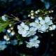 Почему вишня цветет, но не плодоносит и что с этим делать?