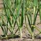 Почему желтеет лук: чем полить и подкормить?