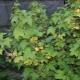 Почему желтеют листья у смородины и как с этим бороться?