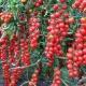 Помидоры «Рапунцель»: описание сорта и тонкости выращивания в домашних условиях