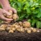 Посадка и уход за картофелем в Сибири и на Урале