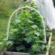 Посадка и выращивание огурцов в парнике
