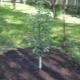 Посадка яблони летом и последующий уход за деревом