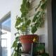 Пошаговая инструкция по выращиванию огурцов на балконе