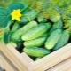 Правила посадки семян огурцов в открытый грунт