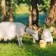 Правила употребления козьего молока