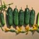 Правила выращивания рассады огурцов