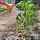 Применение нашатырного спирта для огурцов и помидоров