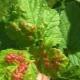 Пятна на листьях смородины: почему появляются и как лечить болезни?