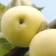 Рецепты заготовок из яблок «Белый налив» на зиму