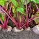 С какими растениями можно сажать свеклу на одной грядке?