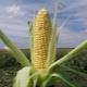 Сахарная кукуруза: сорта и технология выращивания