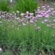 Шнитт-лук: свойства, выращивание и применение
