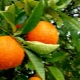 Сколько весит апельсин?