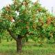 Сколько живет яблоня и от чего это зависит?